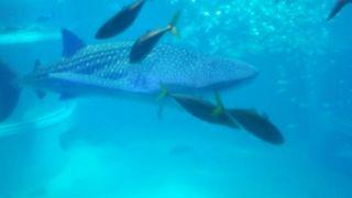 20160506-5-海遊館ジンベエザメ